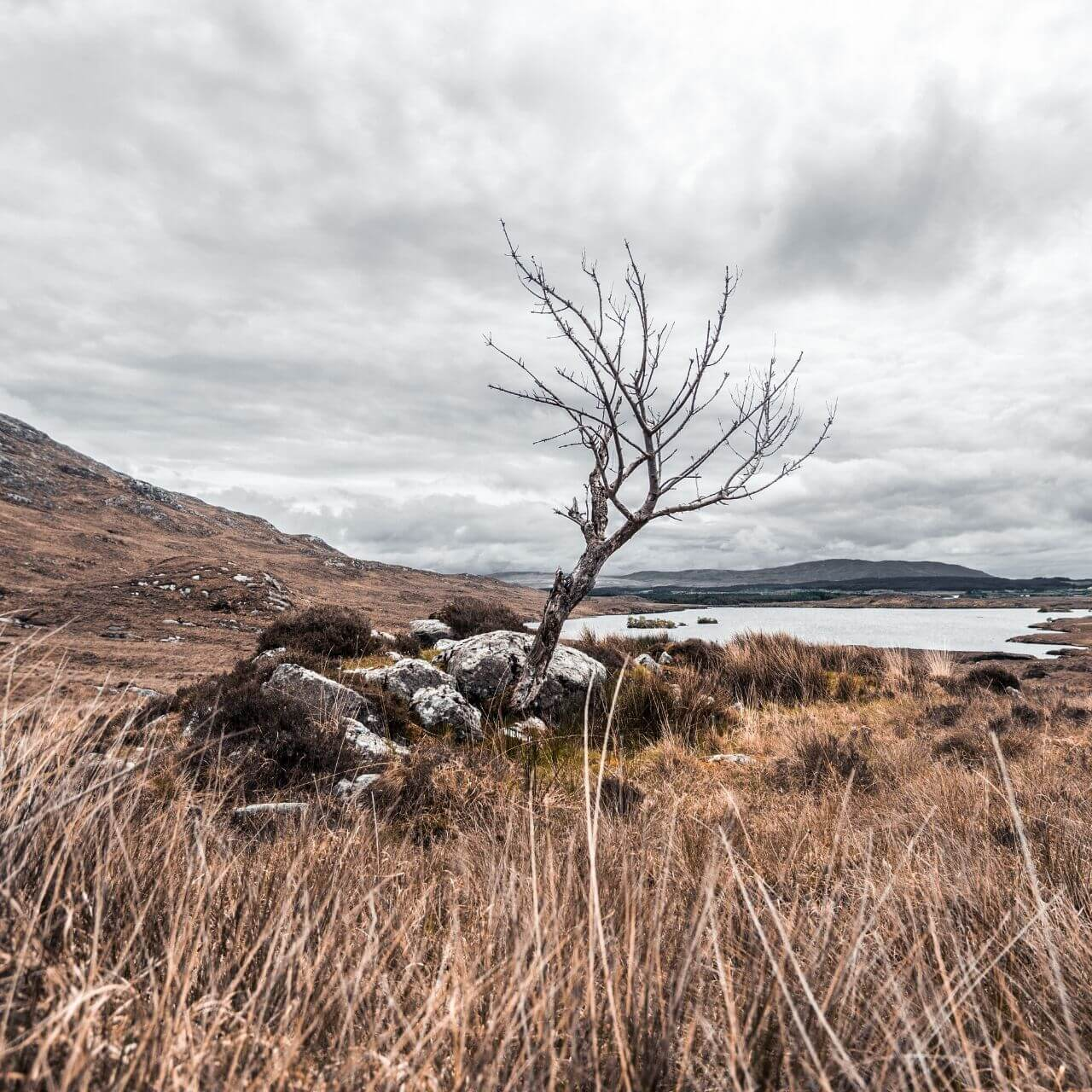 Hawthorn tree in Irish bog